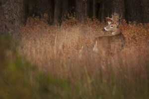 A deer with antlers standing in tall grass